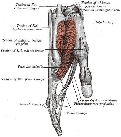 Medizinische Darstellungen von den Muskeln in der Hand